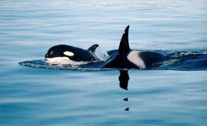 Killer whale mother and her calf