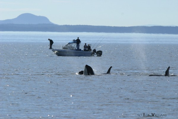 Killer whales spyhop next to a recreational boat