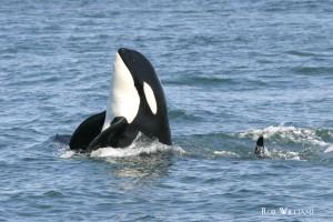 killer whale spyhop RW